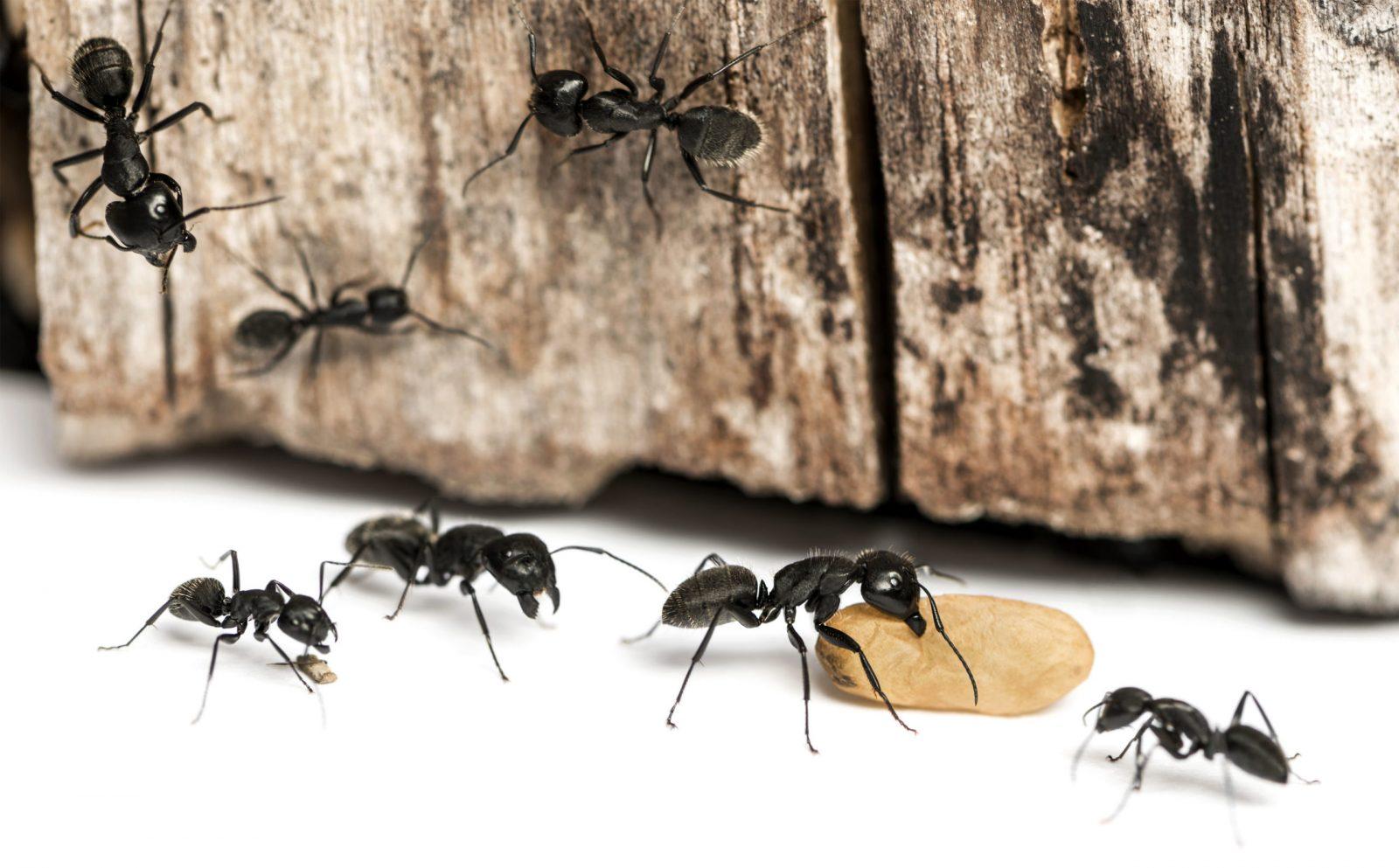 Cómo eliminar plagas de hormigas